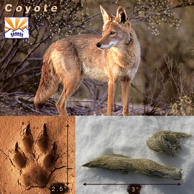 Coyotes – Dan Smith | Outdoor Education at High Trails