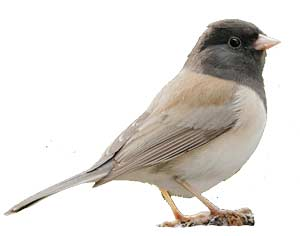 birds-darkeyedjunco