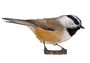 birds-mountainchickadee