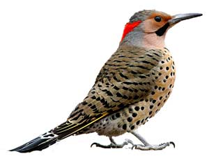 birds-northernflicker
