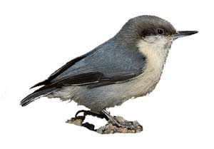 birds-pygmynuthatch