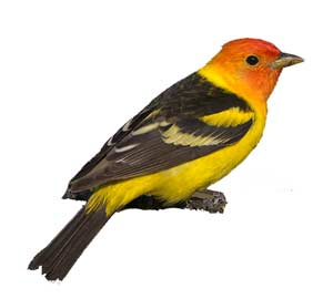 birds-westerntanager