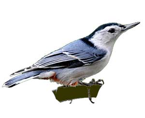 birds-whitebreastednuthatch