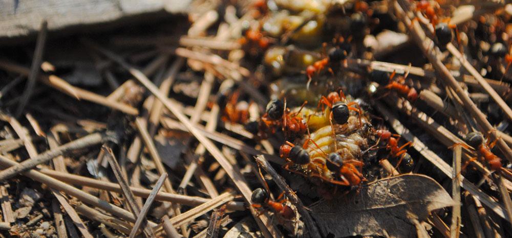 Ants6